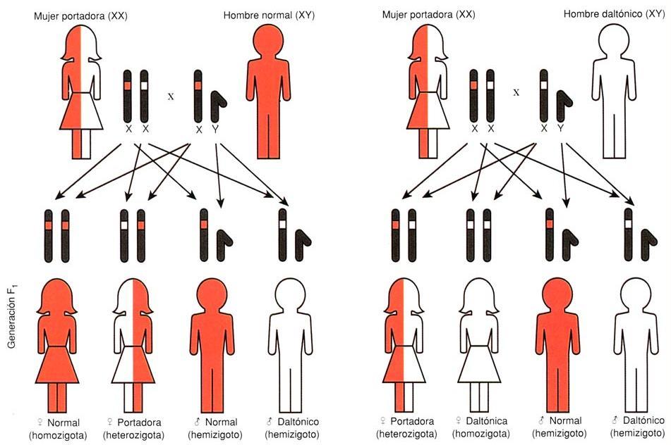 daltonismo genetica